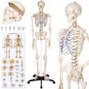 Szkielet  człowieka 181 cm