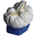 Mózg, model 3 - częściowy