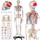 Szkielet anatomiczny 181 cm-szczegółowy