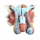 Struktura żeńskiego narządu płciowego